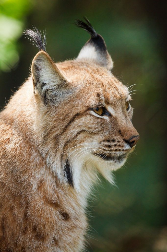 Lynx en ville = danger