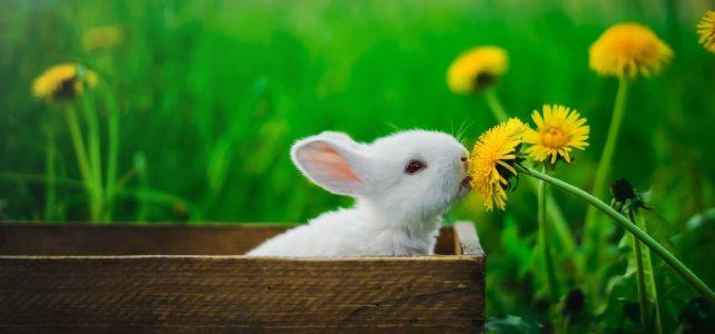 Comment prendre soin d'un lapin ?